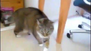 Кот и зеркало от РУССКАЯ ПРИРОДА