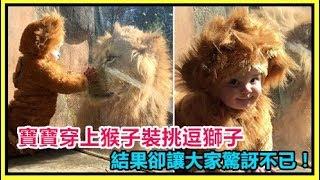 寶寶穿上猴子裝挑逗獅子,結果卻讓大家驚訝不已!