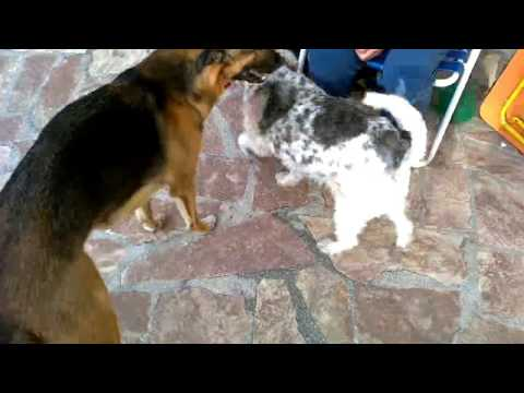 Try Not To Laugh CHALLENGE Funny Video My dogs playng with baloon Year 2017