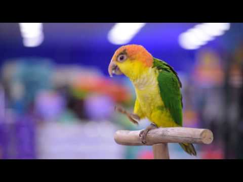 Meet Chilli the White Bellied Caique