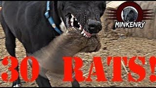 Mink and Dogs DESTROY 30 RATS!!!