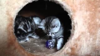 Шотландские котята- питомник