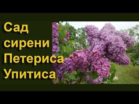 Цветёт сирень в саду Петериса Упитиса в Добеле - часть 2