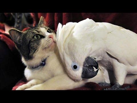 Ну не хочет, кот дружить с попугаем. Умора!