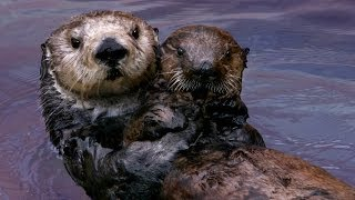 Why Sea Otters Hold Hands & Wrap Pups in Seaweed | Nature | PBS