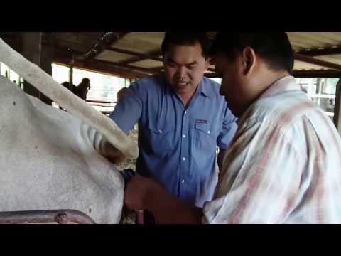 ลูกแดงดี ณ รัตนฟาร์ม กาฬสินธุ์ www.cowboy.in.th