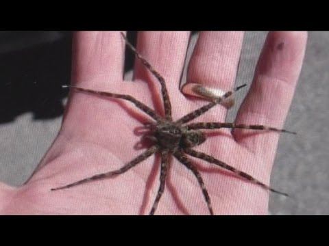 Fishing spiders taking Wisconsin lakes, social media by storm