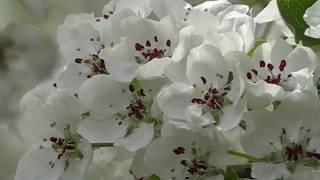 イヌナシの花