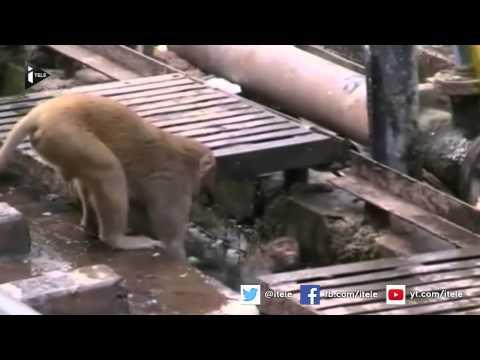 Inde : un singe électrocuté est sauvé par son congénère
