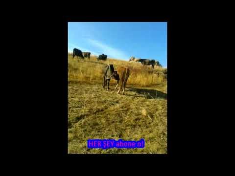 Birbirini emen inekler görenleri hayrete düşürdü çoban şok sahipleri şok ( hayvanlar alemi )
