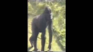 Download Criança cai na jaula de gorila em 1986 Mp3
