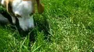 Adopt Me!  Ears The Beagle