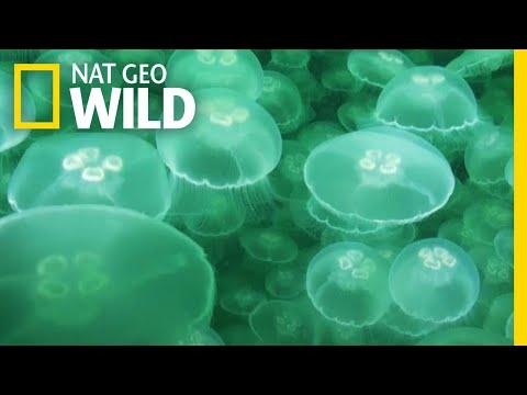 Jellyfish: A Success Story | Nat Geo Wild