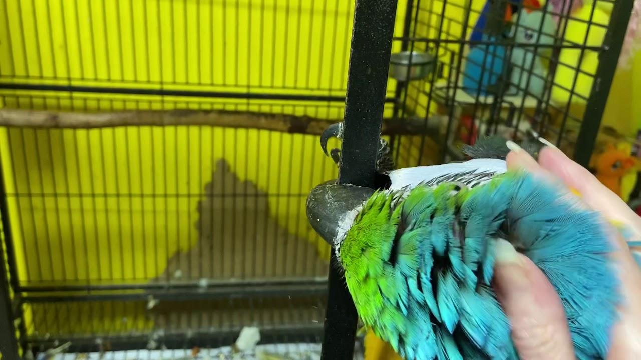 Попугай ара любит ласку