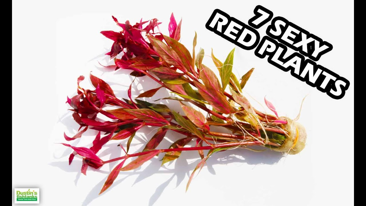 Easy aquarium plants red plants for fish tanks youtube for Easy aquatic plants