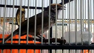 Single Terbaru -  Cucak Rowo Rawa Gacor Mantap