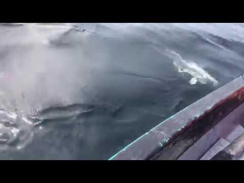 Bay de Verde Shark