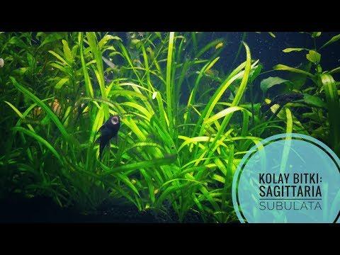 Sagittaria Subulata (Kolay Bitkiler Serisi )