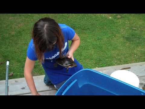 How to feed a Painted Turtle in Canada