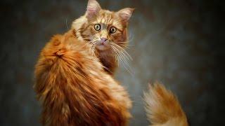 Кошачьи бои  Кошка против лисицы