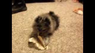 Pomeranians Fighting Over A Pig Ear