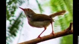 Kicau Burung Prenjak Jantan Rajin Gacor
