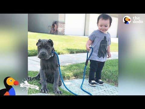 download 'Aggressive' Pit Bulls LOVE Their Baby Brother | The Dodo Pittie Nation