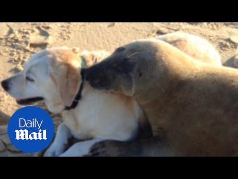 The Best Of Friends! Seal And Dog Snuggle Up On Beach - Daily Mail
