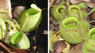 INCREDIBLE Carnivorous Plant Species