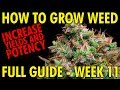 When to Harvest Cannabis Plants (The Perfect Time) Cannabis Grow Guide Week 11