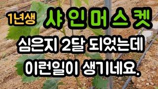 #샤인머스켓1년생재배기술 #비가림비닐하우스시설재배 #과…