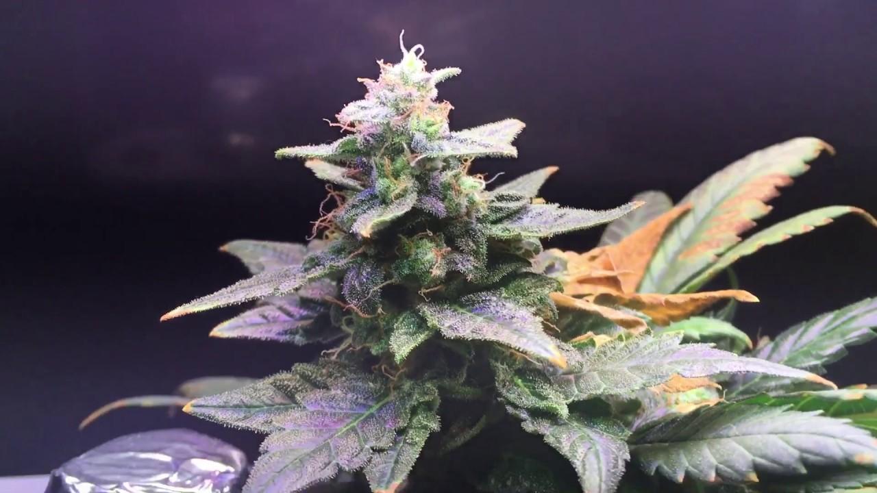 Marijuana Cannibas KitchenGro MicroGro in Aerogarden 3 with Autoflowering  Northern Lights StrainMarijuana Cannibas KitchenGro MicroGro in Aerogarden 3 with  . Aerogarden Cannabis Harvest. Home Design Ideas