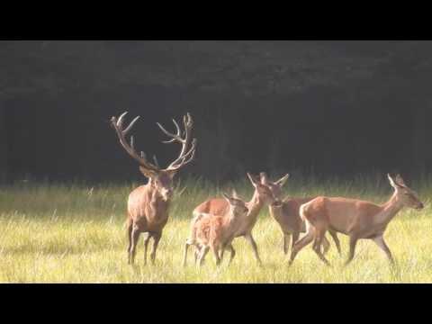 Rykowisko Hirschbrunft Brame du Cerf Red Deer Rut 2016 nr6