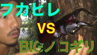 わくわく探検隊の昆虫採集 いつもの林に出現 フカヒレ史上最大のノコギ...