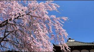 典厩寺のシダレザクラが満開に2017・4K撮影