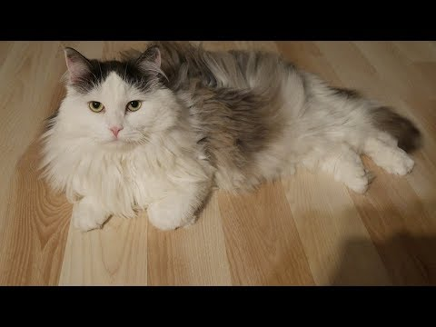 How to Care for Long Haired Cats