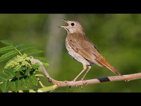 Hermit Thrush Singing