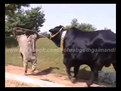Shah Cattle Farm  Hera No 1 2008 Travel Video