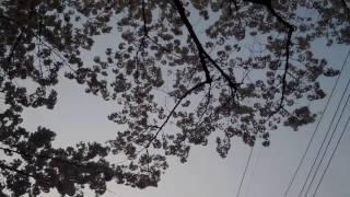 Sakura - Tokyo, Tachikawa, Ichiban-cho