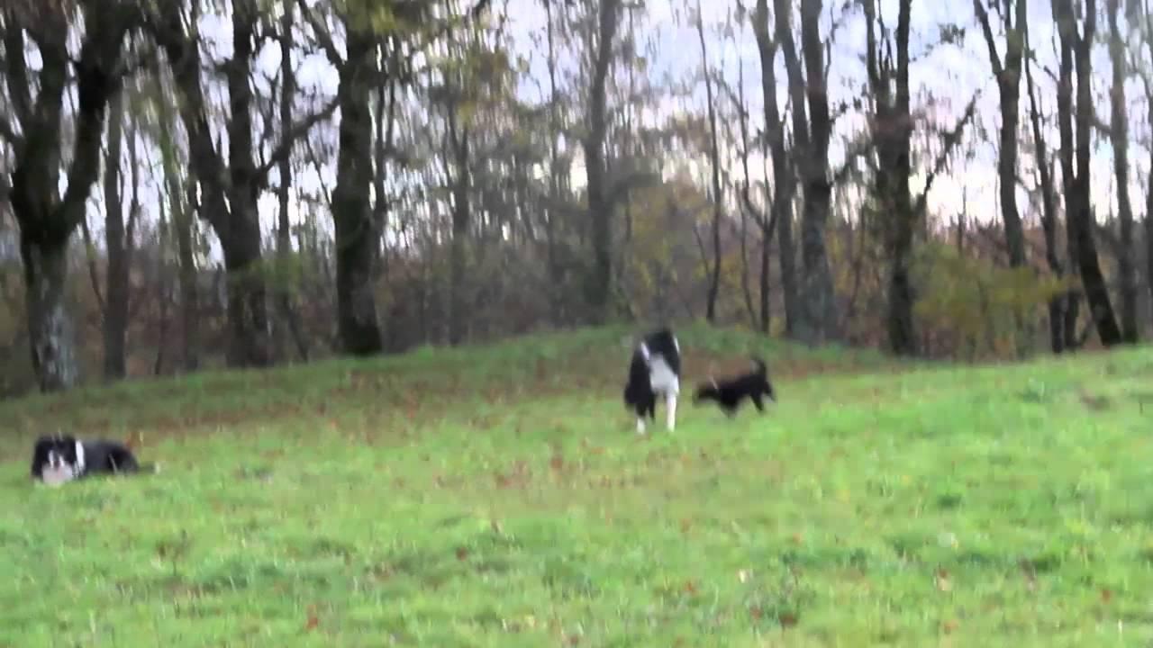 Bellatrix cucciola  border collie a Petrademone