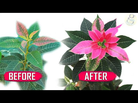 5 SECRET TIPS: THE MOST BEAUTIFUL CHRISTMAS PLANT | EUPHORBIA – POINSETTIA