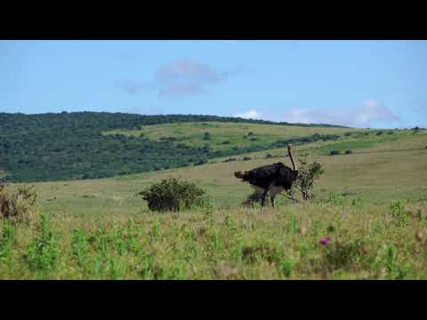 Majestic Animals — The Ostrich