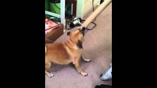 Dog Attacks A Wrapping Paper Tube