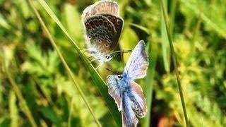 Видео о природе : брачные игры бабочек