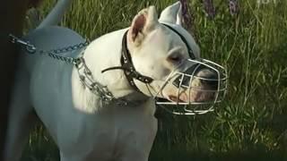 Имитация реальной охоты: курсинг – спорт для быстрых и выносливых собак