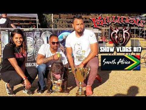 AMERICAN BULLY SOUTH AFRICA!!!!!!!!!!!!!!  KILLINOIS KENNELS SHOW VLOG #17