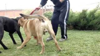 dog argentinian vs  presa canario vs cane corso thumbnail