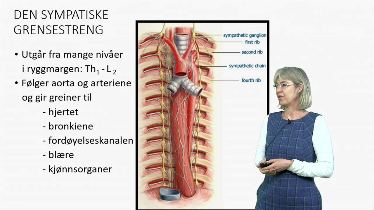 Det autonome nervesystemet: Anatomi