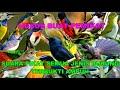 Suara Pikat Semua Jenis Burung Terbukti Ampuh Sudah Di Coba  Mp3 - Mp4 Download