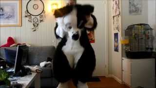 cody the border collie suit up